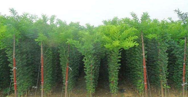 888大奖官网园林绿化教你如何选购优质国槐苗木